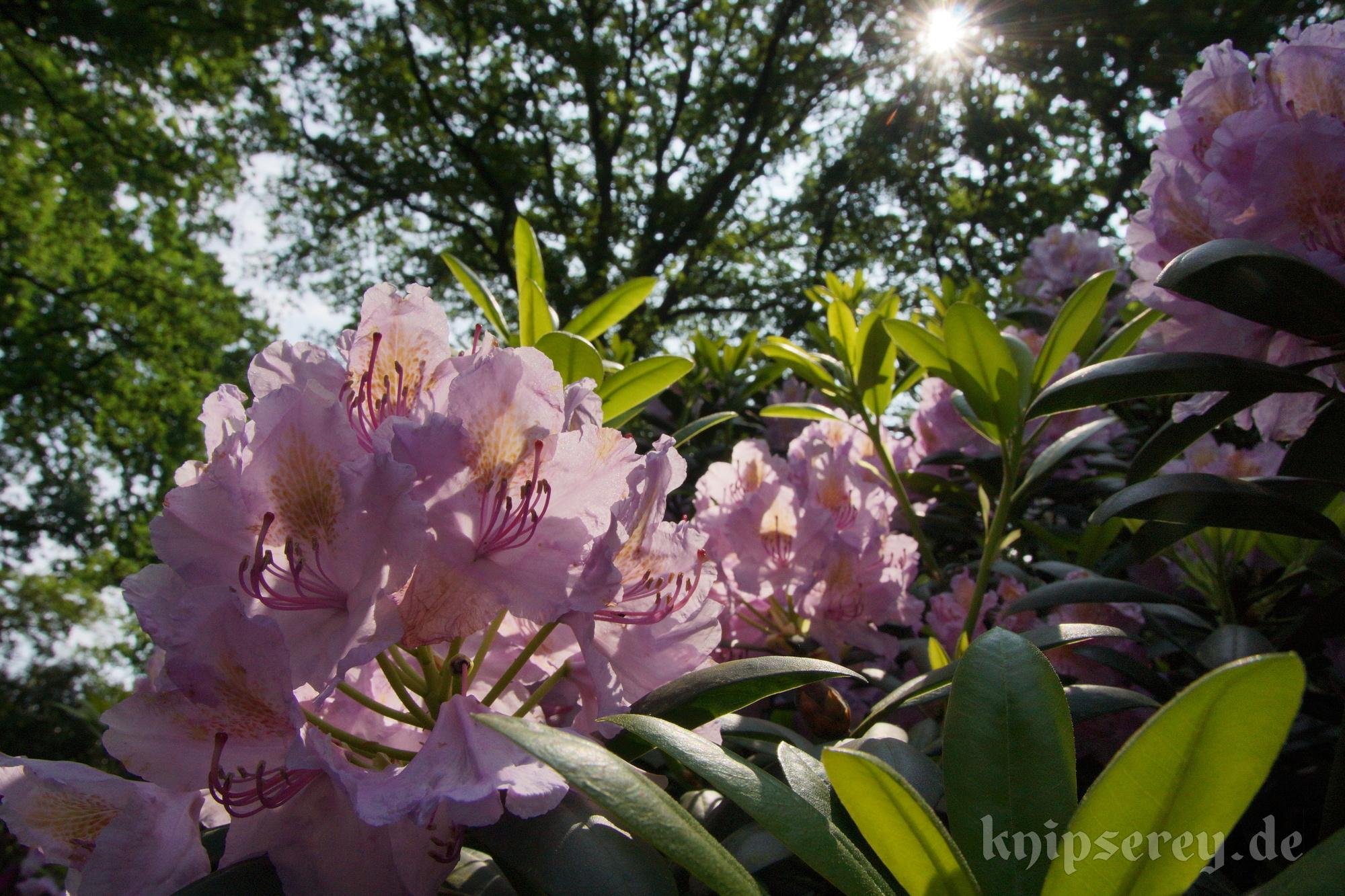 ausflugstipp rhododendronpark bremen knipserey. Black Bedroom Furniture Sets. Home Design Ideas