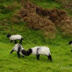 Schafe auf dem Weg zum Clifden Castle