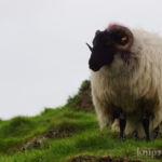 Auf dem Rückweg vom Clifden Castle - nochmal die Schafe